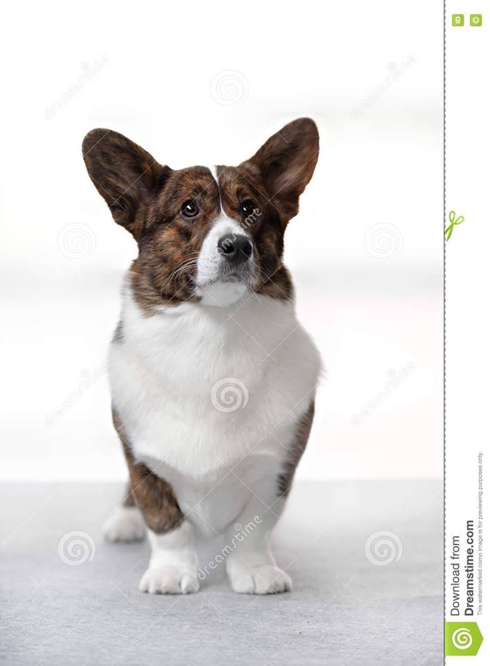 TOPIC FOR DISCUSSION: Correct Cardigan Front Legs | Welsh Corgi ...